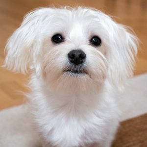 hypoallergenic-dog