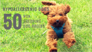 hypoallergenic dogs 50 non-shedding dog breeds