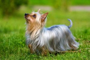 Australian-Silky-Terrier-Hypoallergenic