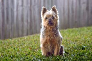 Australian-Terrier-hypoallergenic-dog