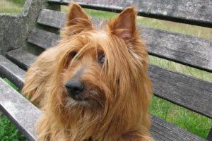 Australian-Terrier-hypoallergenic