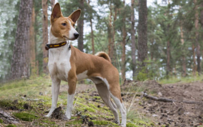 Are Basenjis Hypoallergenic Dogs?