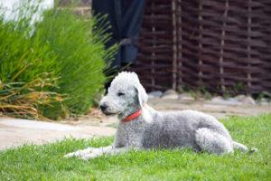 Bedlington-Terrier-Hypoallergenic