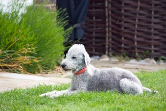 Are Bedlington Terriers Hypoallergenic Dogs?