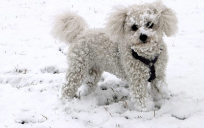 Are Bichon Frise Hypoallergenic Dogs?