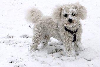 Are Bichon Frise Hypoallergenic Dogs?
