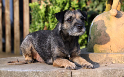 Are Border Terriers Hypoallergenic Dogs?
