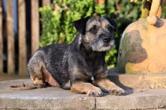 Border-terrier-Hypoallergenic