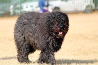 Hypoallergenic Dogs 50 Non Shedding Dogs
