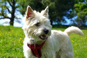 Cairn-Terrier-Hypoallergenic