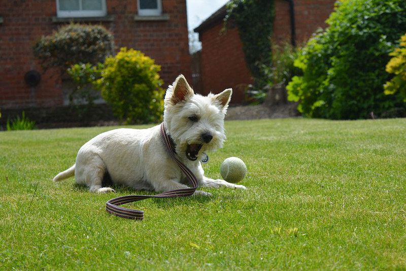 Are Cairn Terriers Hypoallergenic Dogs?