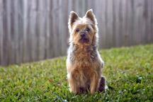 Hypoallergenic-Australian-Terrier