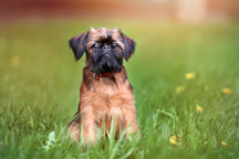 Hypoallergenic-Brussels-Griffon_thumb