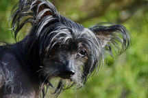 Hypoallergenic-Chinese-Crested_thumb