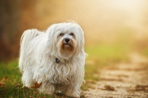 Hypoallergenic-Havanese-dog