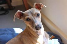 Hypoallergenic-Italian-Greyhound
