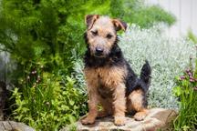 Hypoallergenic-Lakeland-Terrier