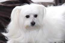 Hypoallergenic-Maltese-Dog_thumb