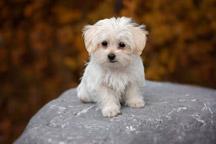 Hypoallergenic-Maltese-Puppy_thumb
