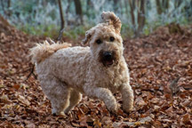Hypoallergenic-Soft-Coated-Wheaten-Terrier