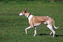 Hypoallergenic-Whippet