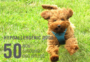 Hypoallergenic-dogs-non-shedding-dogs-list