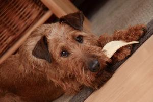 Irish-Terrier-Hypoallergenic