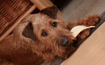 Are Irish Terriers Hypoallergenic Dogs?