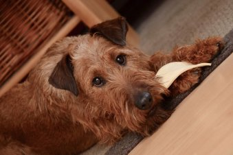 Irish-Terrier-Hypoallergenic