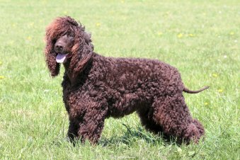 A Picture of a Irish Water Spaniel