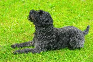 Kerry-Blue-Terrier-Hypoallergenic