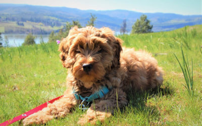 Are Labradoodles Hypoallergenic Dogs?