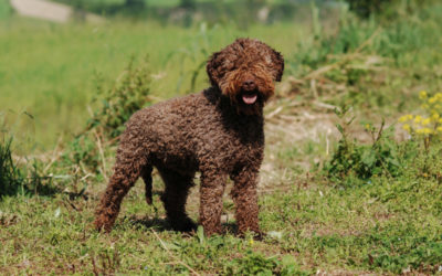 Are Lagotto Romagnolos Hypoallergenic Dogs?