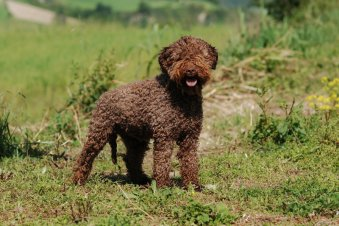 A Picture of a Lagotto Romagnolo