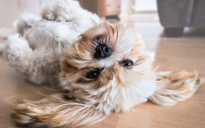 Are Lhasa Apsos Hypoallergenic Dogs?