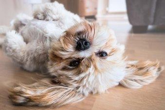 Hypoallergenic Lhasa Apso dog