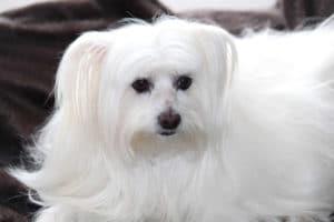 Maltese-Hypoallergenic-dog