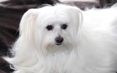 Are Maltese Hypoallergenic Dogs?