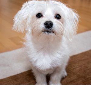 Maltese-Hypoallergenic-dog-sitting