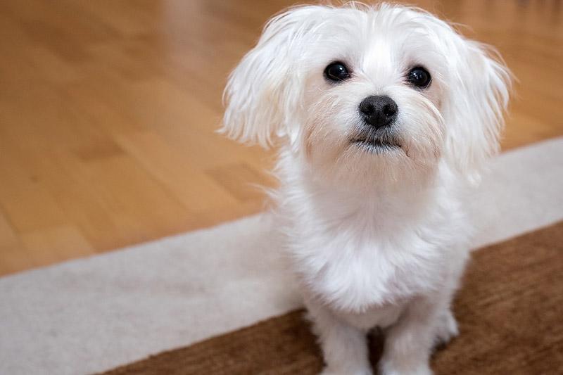 Maltese Dog Hypoallergenic Dog