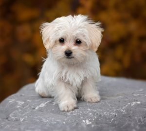 Maltese-Puppy-Hypoallergenic-dog
