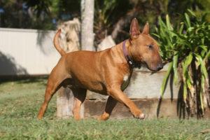 Miniature-Bull-Terrier-Hypoallergenic