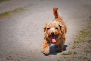 Norfolk-Terrier-Hypoallergenic