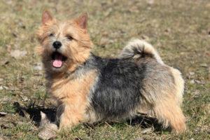 Norwich-Terrier-Hypoallergenic
