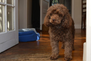Poodle-Hypoallergenic