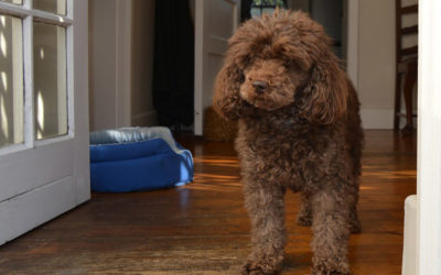 Are Poodles Hypoallergenic Dogs?
