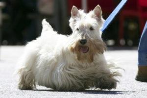 Scottish-Terrier-Hypoallergenic