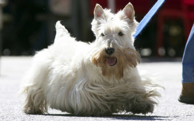 Are Scottish Terriers Hypoallergenic Dogs?