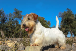Sealyham-Terrier-Hypoallergenic