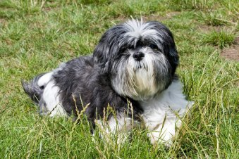 Are Shih Tzu Hypoallergenic Dogs?